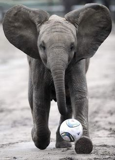 Happy soccer playing elephant! - http://wanelo.com/p/4016124/epic-soccer-training-skyrocket-your-soccer-skills