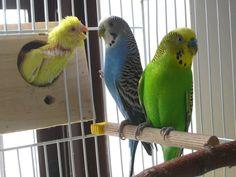 Blue Parakeet, Peonies Garden, Budgies, Parrots, Love Pet, Beautiful Birds, Pet Birds, Habitats, Pets