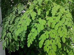 Health Benefit of Moringa Plant Benefits Of Moringa Leaves, Wellness Tips, Health And Wellness, Family Tattoos, Superfoods, Herbs, Plants, Tattoo Ideas, Projects
