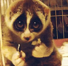 A slow loris very slowly eating a rice ball