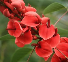 Coral tree.