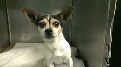 TO BE DESTROYED 3/5/14 -- This little guy finds himself in real trouble now that's he's at the NYACC! He needs someone to take him home and love him before his time is up tomorrow!Brooklyn Center. My name is WILL SMITH. My Animal ID # A0992445.I'm a male white/black chihuahua sh and JRT mix about 8 YRS! https://www.facebook.com/photo.php?fbid=765594303453451&set=a.611290788883804.1073741851.152876678058553&type=1&theater