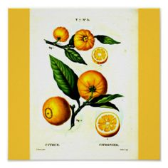 Poster-Botanicals-Pierre Joseph Redoute 23