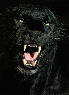 black panther snarly