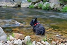 My sweet little scottie going for a swim #ScottieDog #MovingWater #Photography