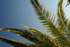 Palm Tree Removal Cost   Palm Tree Trimming Costs