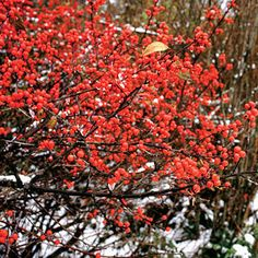Winterberry Holly Shrub (fast - 6-8 ft tall, 3-5 wide) containers okay // fall yellow, winter orange-red berry