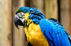 Blue-and-yellow Macaw by Quentin CUVELIER on 500px