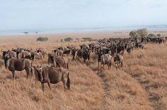 The Masai Mara Wildebeest Migration: The Greatest Trek on Earth | Traveldudes.org