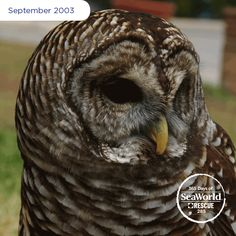 Chloe, a barred owl, was found when she was only a few months old at a park in Christmas, Florida eating lunch meat out of people's hands. Her actions led rescuers to believe she was most likely hand raised and would be unable to hunt for food on her own. #365DaysOfRescue