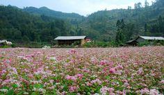 Xinh xinh ngắm nhìn hoa tam giác mạch