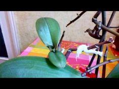Что делать с цветоносом какие почки пробудить - YouTube