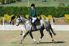 6yo, 16.2hh -  Daley K x Graf Landau Mare who jumped WC  Quiet & Careful, Super Young Horse - Warmblood - Horsezone