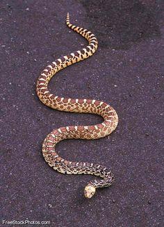 Bull Snake -- handsome, subtle, and a great shot.