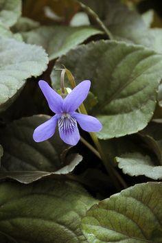 Labrador Violet - Viola labradorica | Prairie Nursery | Native Plants