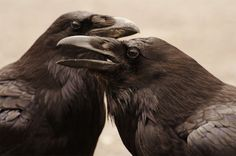 10 Crows and Raven from World Religions