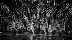 © Laurent Baheux #photo #africa #fineart #artwork #zebra