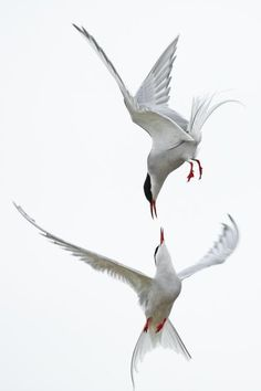 Photography (Arctic Terns, via fat birds) on Designspiration Sea Birds, Love Birds, Beautiful Birds, Animals Beautiful, Cute Animals, Beautiful Pictures, Funny Bird, Arctic Tern, Fat Bird