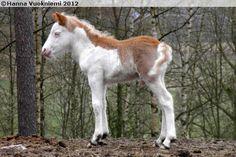 chestnut (?) splash white - Gotland Pony colt Nummen Jimmy