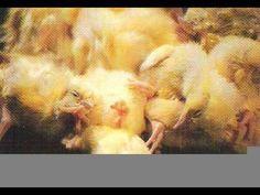 ▶ Secret Video of Horrible Cruetly to Chicks - YouTube