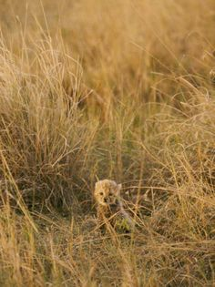 A Cheetah Cub Sits Almost Camouflaged in a Bed of Tall Grass