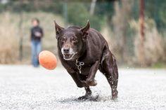 12歳になってもボール大好きFiglia♪ボールを追いかける力強い走りは、若い子にもまだまだ負けません!
