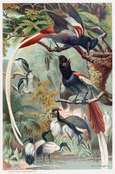 Paradise flycatchers.    From Animate creation vol. 3, by J. G. Wood, New York, 1898.