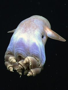 Grimpoteuthis. Dumbo octopus. The vast array of creatures in this world...simply amazing.
