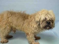 SUPER URGENT 11/25/15 Brooklyn Center KEITH – A1058875 ***NEEDS FOLLOW UP VET CARE ASAP*** MALE, TAN / BROWN, BRUSS GRIFFON MIX, 12 yrs STRAY – STRAY WAIT, NO HOLD Reason STRAY Intake condition UNSPECIFIE Intake Date 11/25/2015, From NY 11207, DueOut Date 11/29/2015,