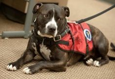 Yay for Cletus! Idaho State University student's pit bull service dog accepts posthumous diploma