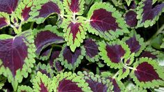 chocolate drop coleus