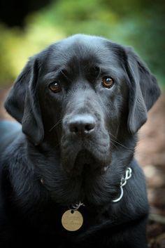 black labrador retriever #labradorretriever