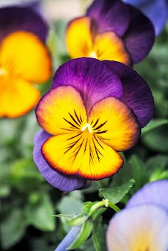 Colorful pansy | Flickr - Photo Sharing!                                                                                                                                                                                 More