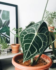 Anthurium clarinervium