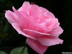 DesertRose,;,pink,;,