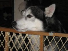 Klondike is an #adoptable Siberian Husky Dog in Pelham, NH Klondike and Hugo are looking for a new family and home to call their own.  Klondike is ten yea ... ...Read more about me on @petfinder.com