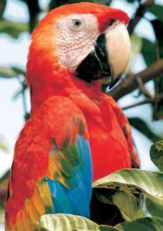 Amazonas - AM- ARARA VERMELHA Ave A arara-vermelha, também chamada arara-verde, araracanga, aracanga, arara-macau, ararapiranga e macau, é uma ave psitaciforme, nativa das florestas do Panamá, Brasil, Paraguai e Argentina. A sua alimentação é baseada em sementes, frutas e coquinhos. Wikipédia Classificação: Espécie Classificação superior: Ara
