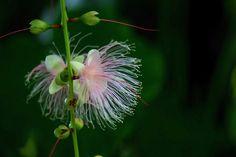 さがりばな (下がり花) /Barringtonia racemosa by nobuflickr, via Flickr