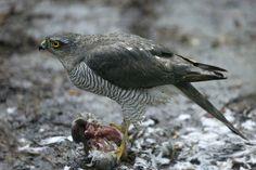 Sperwer (Van vroegevogels)