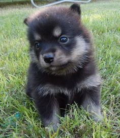 Things we enjoy about the Pomeranian Puppies All About Pomeranians Pomeranian Husky Puppies, Pomsky Puppies, Husky Mix, Husky Puppy, Cute Puppies, Cute Dogs, Pomeranians, Puppys, Pets
