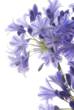 """Agapanthus means the flower of love The genus name, """"Agapanthus"""" is derived from two Greek words: """"agape. Taken together, the agapanthus is the flower of love. Amazing Flowers, My Flower, Purple Flowers, Colorful Flowers, Beautiful Flowers, Simply Beautiful, Beautiful Gorgeous, Bloom, Planting Flowers"""