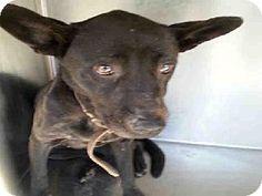 Atlanta, GA - German Shepherd Dog Mix. Meet CHARA, a dog for adoption. http://www.adoptapet.com/pet/12111381-atlanta-georgia-german-shepherd-dog-mix