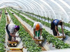 An arrangement that allows Fijian seasonal workers to come to New Zealand is likely to be discussed by both Prime Ministers.
