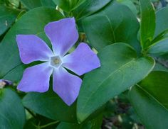 """Periwinkle flower - """"tender recollections"""""""