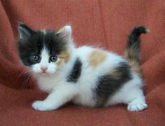 Cute Little Kittens, Kittens Cutest, Ragdoll Kittens, Funny Kittens, Bengal Cats, Gato Calico, Calico Cats, Pretty Cats, Beautiful Cats