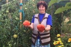 Отглеждането на домати е любимо от дълги години на поколения българи. Едва ли има по-вкусно и полезно нещо от прясна …