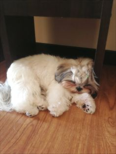 Sweet Sleeping Shih Tzu!!