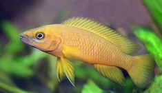 1 x Lamprologus leleupi (yellow) 4cm  PRICE- 25 $
