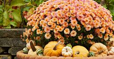 For the perfect late-season bloomer, you can't go wrong with fall mums! Get tips to selecting the right variety, planting, growing, and enjoying this fall favorite. Garden Mum, Garden Care, Autumn Garden, Home And Garden, Container Gardening, Gardening Tips, Flower Gardening, Caring For Mums, Autumn