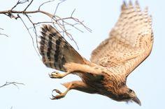 オオタカ幼鳥 飛び出し | 動物 > 鳥類の写真 | GANREF